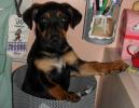 Patentino e assicurazione obbligatoria per cani ritenuti pericolosi